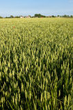 Green rye field Royalty Free Stock Image