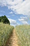Green rye field with dirt lane and blue sky Royalty Free Stock Image