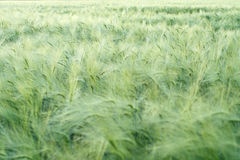 Green rye field Royalty Free Stock Images