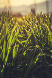 Green rye field Stock Photography