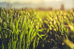 Green rye field Stock Photography