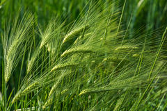 Green rye. Royalty Free Stock Photography