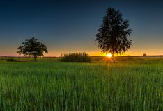Green rye field at sunset. Rural landscape Stock Photo