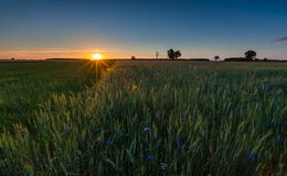 Green rye field at sunset. Rural landscape Royalty Free Stock Image