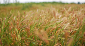 Green rye grain Royalty Free Stock Photos