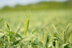 Green rye grain in field Royalty Free Stock Photography