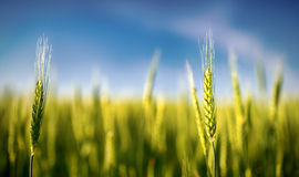 Green rye grain in field Royalty Free Stock Images