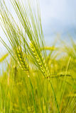 Green rye over blue sky Royalty Free Stock Images