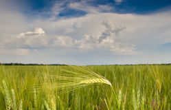 Green rye over blue sky Royalty Free Stock Image