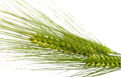 Green rye spikes Stock Photo