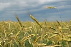 Green rye spikes. Rye field on cloudy sky background Stock Image