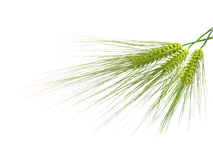 Green rye spikes with room for text Stock Photo
