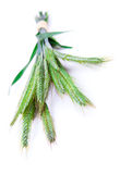 Green rye spikes. (Secale cereale), on white background Royalty Free Stock Photography