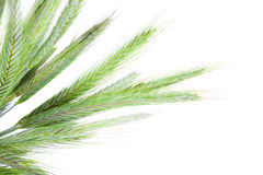 Green rye spikes Royalty Free Stock Photo