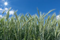 Green rye in sunshine Royalty Free Stock Image