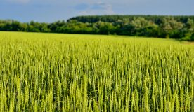 Green rye or wheat field in the sun Royalty Free Stock Image