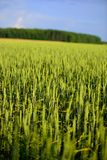 Green rye or wheat field in the sun Royalty Free Stock Photos