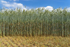 Free Green Rye With Very Long Stalk Stock Images - 57318154
