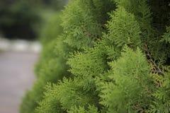 green sörjer treen Arkivfoton