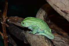 Green sad frog resting on a log Stock Photos