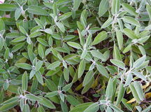 Green sage Royalty Free Stock Photos