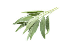 Green sage branch. Sage branch isolated on a white background Stock Photos