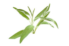 Green sage branch Stock Photo