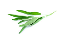 Green sage branch isolated on white Stock Photos