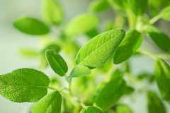 Green sage in kitchen Royalty Free Stock Images