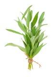 Green sage plant Stock Photos
