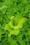 Green salad. Fresh green salad growing in the garden after rain Stock Photo