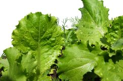 Green salad. Covered by water drops on white background. Isolation Stock Photos