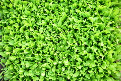 Green salad background Royalty Free Stock Photo