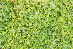 Green salad background Stock Image