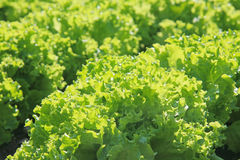 Green salad on bed Stock Image