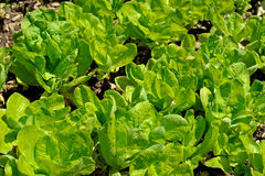 Green salad closeup Royalty Free Stock Image