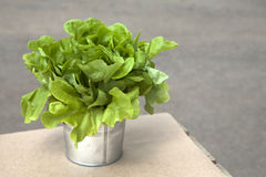 Green salad in a flower silver pot Stock Images