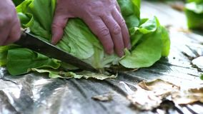 Green salad in greenhouse cutted by knife stock footage