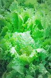 Green salad growing on the bed royalty free stock photo
