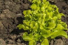 Green salad is growing in the garden in the open field. Young, green salad on a bed close-up royalty free stock images