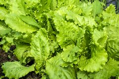 Young, green salad on a bed close-up. Green salad is growing in the garden in the open field stock photos