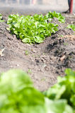 Green salad growing Stock Photo
