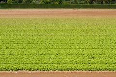 Green Salad grown in field 2 Stock Photography