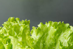 Green salad leaf closeup on with grey background Royalty Free Stock Image