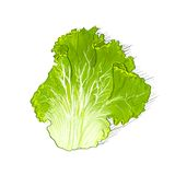 Green salad leave color sketch draw  over. White background vector illustration Stock Photo