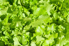 Green salad leaves. Close-up Stock Image