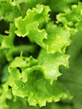Green salad leaves Royalty Free Stock Images