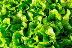 Green salad leaves in the garden of farmer Royalty Free Stock Image