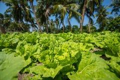 Green salad leaves plantation vegetable Stock Image