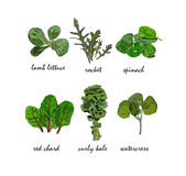 Green salad leaves in vectors Stock Photos